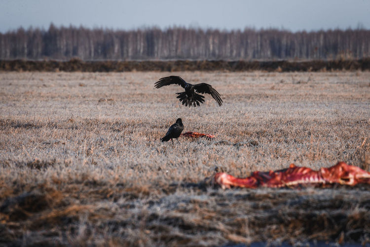 Ravens feeding on pray