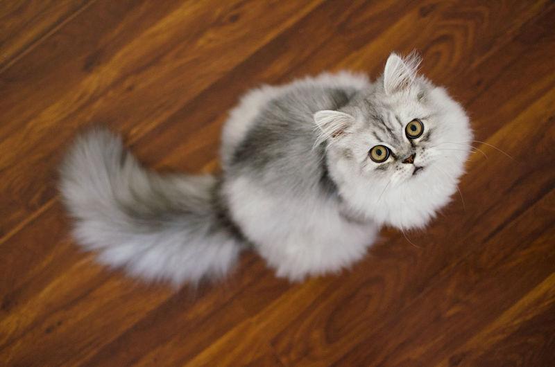 High angle view of cat on hardwood floor