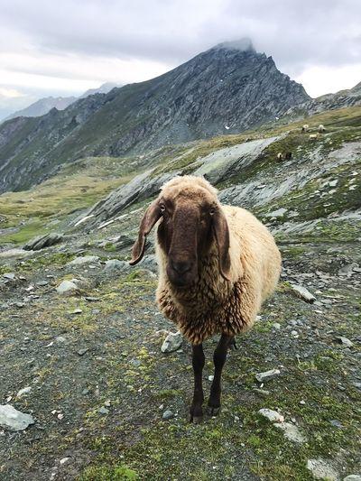 S H E E P Sheep Animal Mammal Animal Themes One Animal Mountain Nature Landscape Scenics - Nature No People