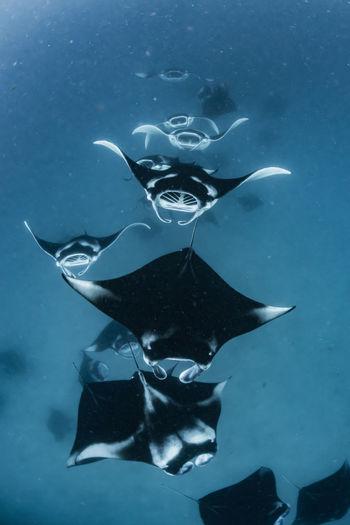 School of manta rays in baa atoll, maldives