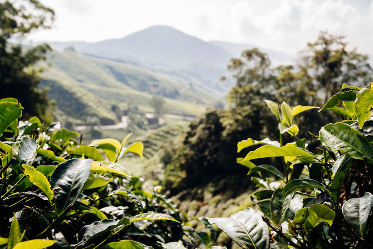 Framed View Agricultural Land Agriculture Beauty In Nature Day Environment Field Focus On Foreground Landscape Landscapes Leaf Mountain Nature No People Outdoors Plantation Scenics - Nature Selective Focus Sky Sun Tea Leaves Tea Plant Tea Plantation  Tea Plantation Terrace Tranquility