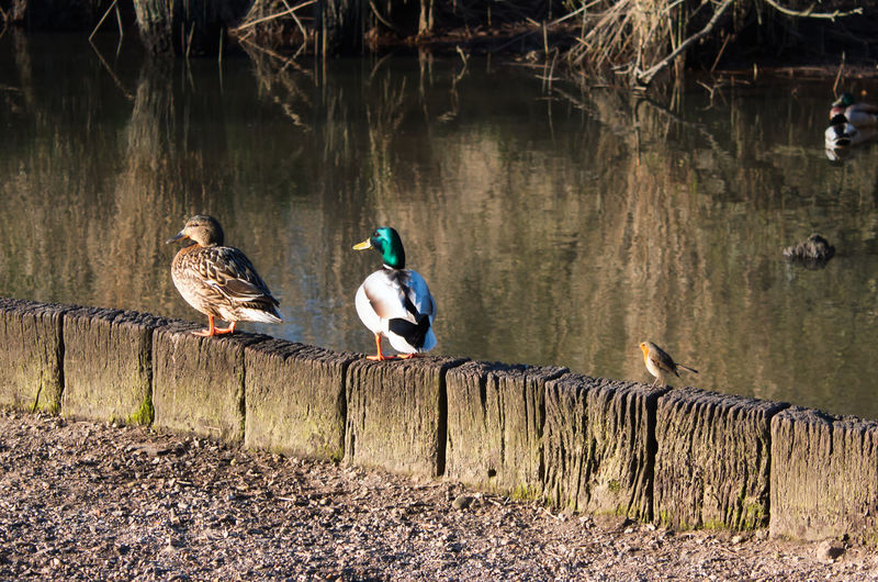 Birds perching on wooden post by lake