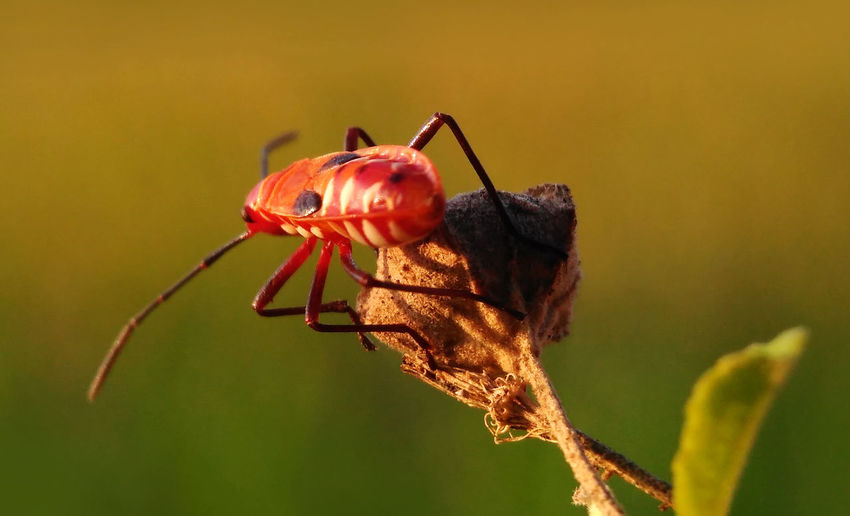 Bapak Pucung Animals In The Wild INDONESIA Java Nature Animal Animal Themes Animal Wildlife Animals Animals In The Wild Close-up Day Insect Nature No People One Animal Outdoors Pucung Red Red Animal