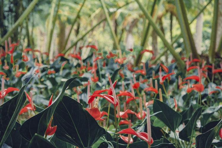 Martinique, Jardin de Balata Anthurium Martinique Beauty In Nature Close-up Day Flower Flower Head Flowering Plant Fragility Freshness Green Color Growth Island Land Leaf No People Outdoors Petal Plant Red Tranquility Tropical Tropical Climate Tropical Plants Vulnerability