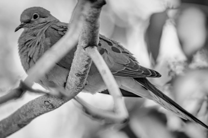 Monochrome_life Black And White Bird Bird Watching Mourning Dove EyeEm Selects Animal Themes Animals In The Wild Animal Animal Wildlife One Animal Bird Focus On Foreground Selective Focus Branch Perching Nature
