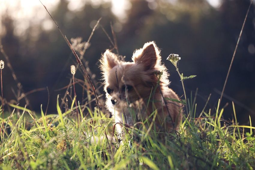 🌿🍃🍂 Nature Chihuahua Dog Outdoors EyeEmNewHere
