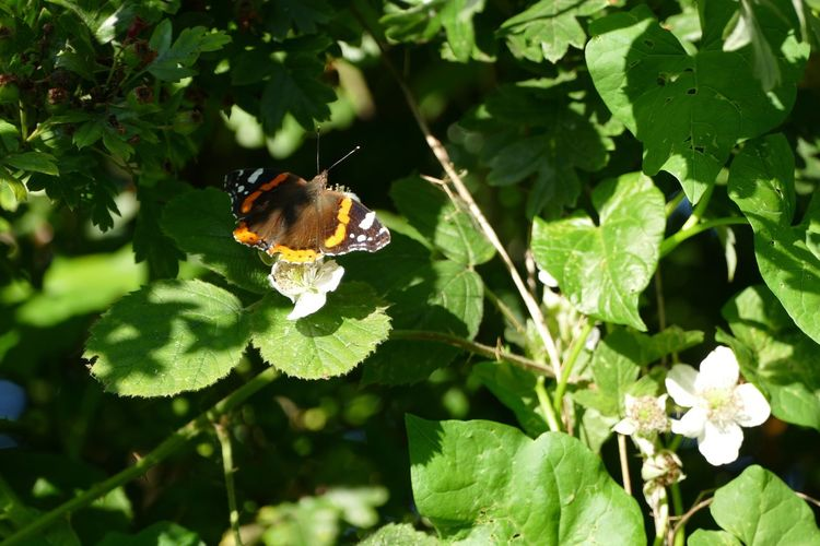 Insect One Animal Beauty In Nature Sand-le-Mere Sand Le Mere Outdoors Red Admiral Butterfly Red Admiral Butterfly ❤ Wildlife Butterfly Collection Butterflies Butterfly - Insect Butterfly Beauty In Nature