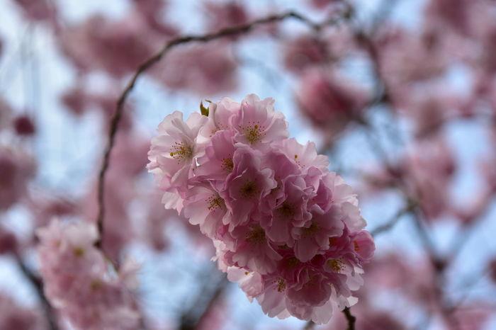 Flower Head Flower Tree Branch Pink Color Springtime Blossom Petal Close-up Plant