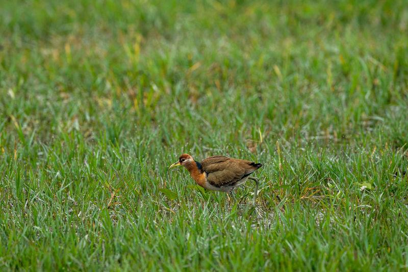 Pheasant tailed