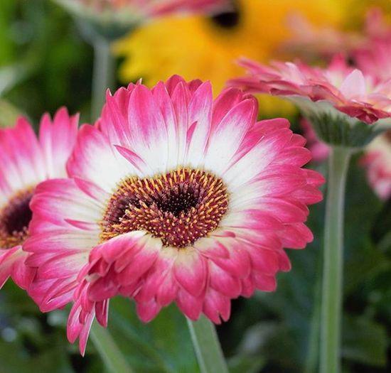 Pretty awesome flower in Jean Talon market Montréal Jeantalonmarket Flower Doublebud Nikon Flowersofinstagram Flowers Montrealmoments Nikonworld_ MTL