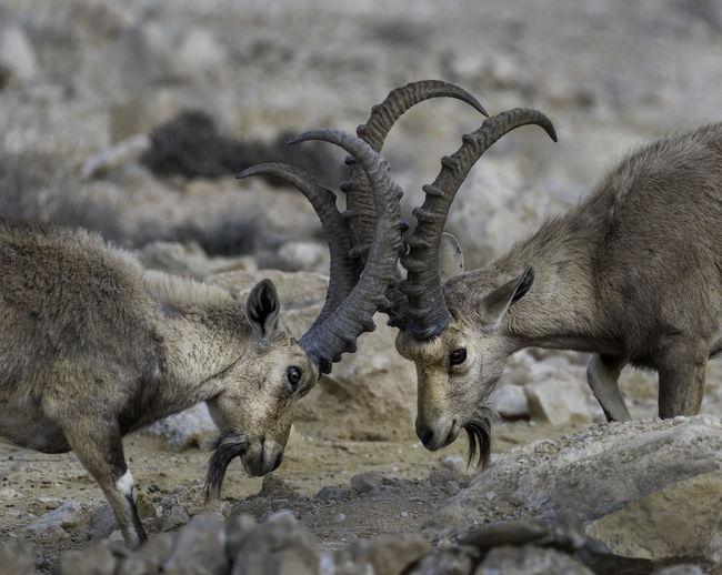 Gazelle in the desert