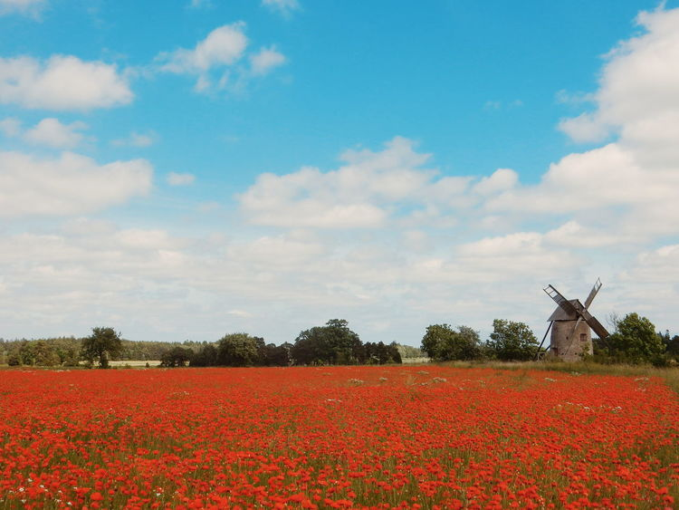 i love poppie, and when i saw this field full of poppies i was so happy and emotional that i started to cry...Original Experiences Gotland, Sweden Feel The Journey Poppy Poppy Flowers Poppy Fields Poppy Flower Poppy Field Showcase June Colours Of Life