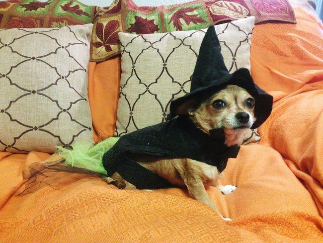 Halloween Chihuahua Witch Costume Dog Halloweenideas Halloween🎃 Halloween2015