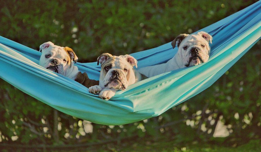 Le tre pesti si riposano! Lucahdphoto EnglishBulldog Dog My Puppy Puppy Love Relaxing