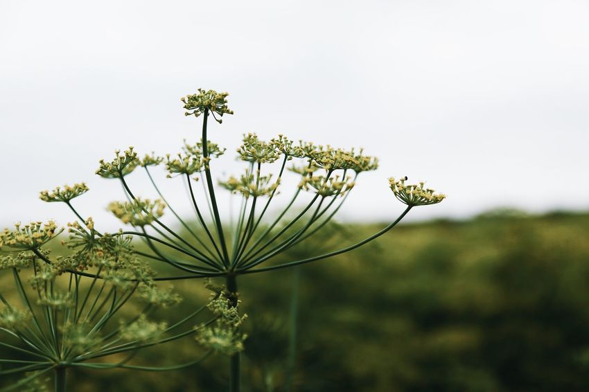 Botanic Botany Eatable Flowers Food Full Frame Close-up Selective Focus Focus On Foreground Seeds Herb Flower Head Silhouettes Dill Flowers Dill Flower Structure Of A Bloom Dill Plant Flower Flowering Plant Growth Beauty In Nature Freshness Vulnerability  Copy Space Tranquility Close-up Nature Fragility Focus On Foreground Flower Head Petal