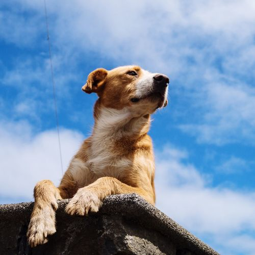 Dogs Of EyeEm Domestic Animals Guardian Dog Hund Cao Chien Hond Madeira Dogs One Animal Animal Themes Low Angle View Animal Head  Looking Away No People Sky Blue Mammal Madeira Island Capture The Moment EyeEm Animal Lover