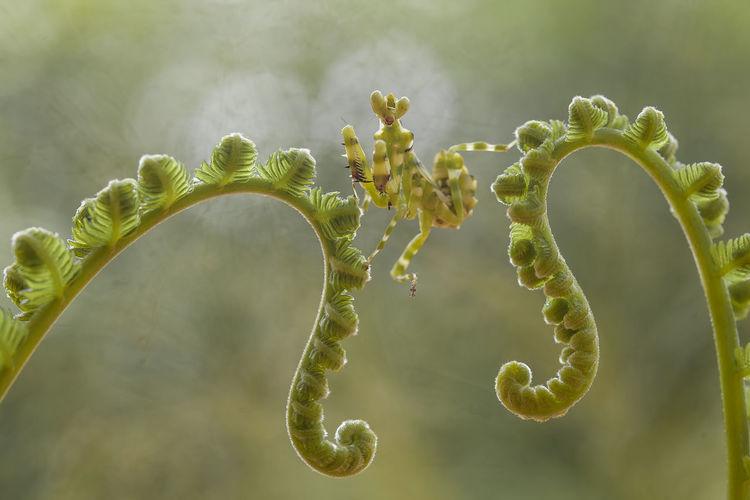 Cerobroter gemmatus on unique plants