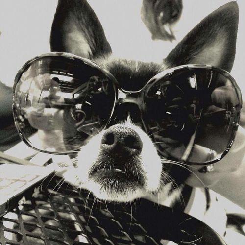 Diva Dog