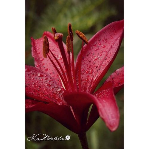 Katessaproductions Katessa NH Nhphotography nhphotographer photography photographer amateurphotogtapher floral instagarders garden flower flowers lily lilies red spotted maroon nature naturephotographer naturemacro macro macrophotography raindrops instalike instagood picoftheday photooftheday