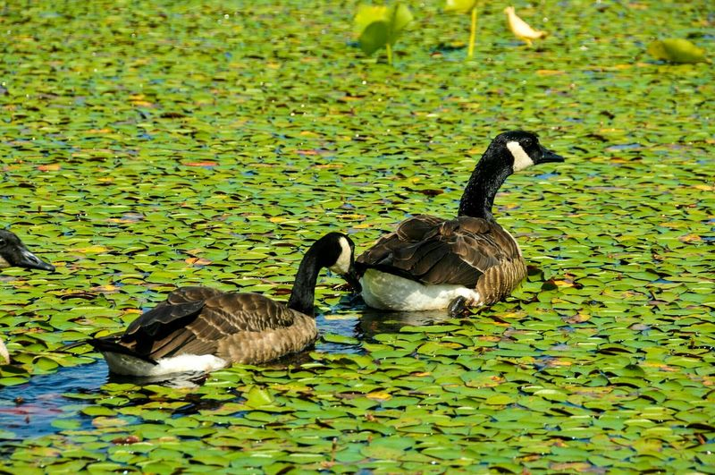 Water Bird Animals In The Wild Animal Themes Animal Wildlife Lake Nature No People Day Outdoors Swimming Gosling Canada Goose Beauty In Nature Geese