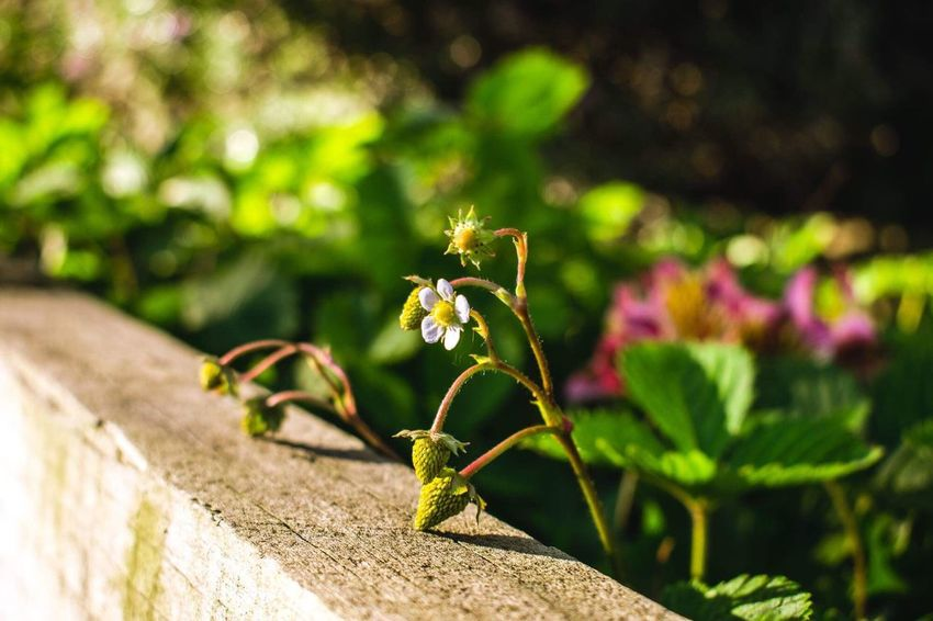 Subtle wild beauty Wild Strawberry Close-up Flowering Plant Flower Beauty In Nature Focus On Foreground