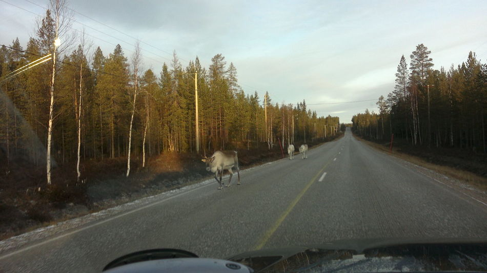 Sodankylä, Finland Lapland, Finland On The Road Reindeers