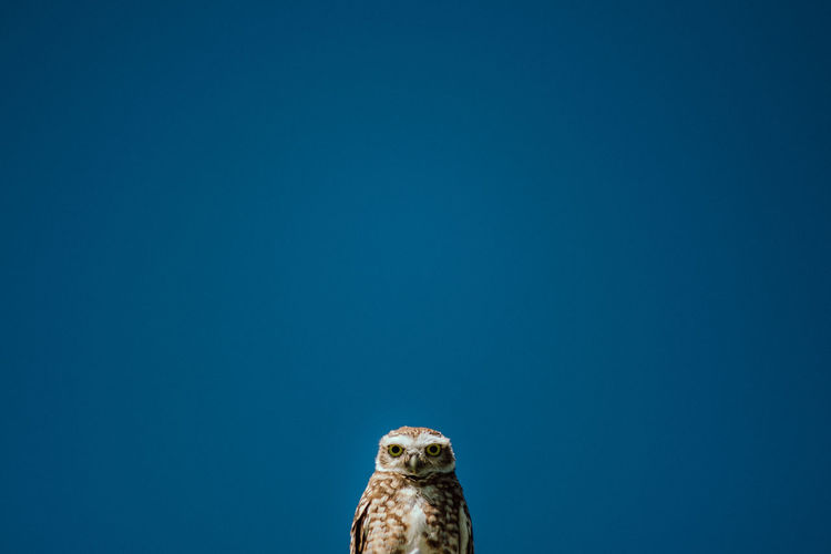 Low angle view of owl against clear blue sky