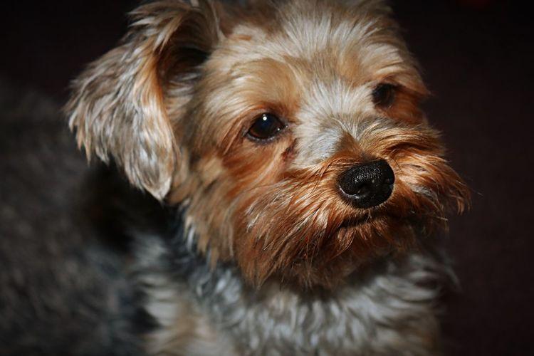 My Little Girl 😍😍❤️ EyeEm Animal Lover EyeEm Selects First Eyeem Photo Dog Canine Mammal One Animal Animal Themes Animal Domestic Pets Domestic Animals Animal Body Part Yorkshire Terrier Close-up Animal Head  Portrait Animal Hair Hair