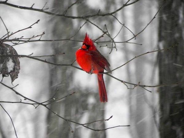 Cardinal bird, red bird, snowbird Red Bird Cardinal Snowbird Red