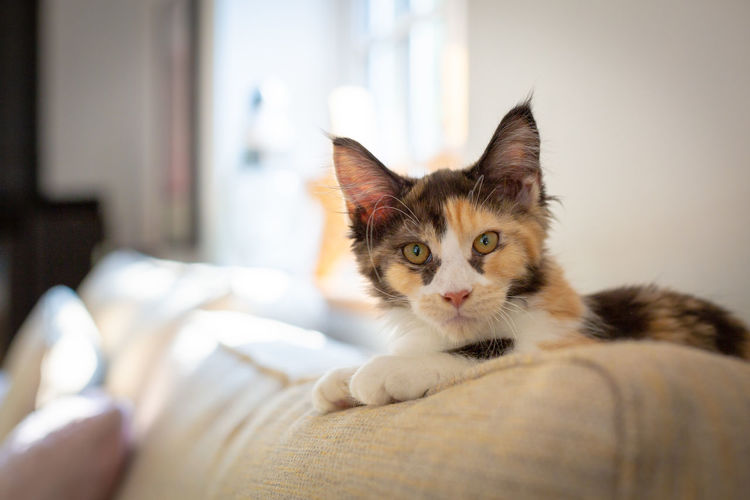 Animal Animal Head  Animal Themes Bed Cat Cozy Domestic Domestic Animals Domestic Cat Feline Focus On Foreground Furniture Home Interior Indoors  Looking At Camera Mainecoon Mammal No People One Animal Pets Portrait Relaxation Vertebrate Whisker