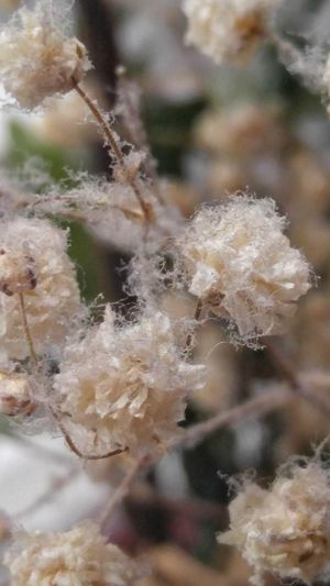 Babys Breath Plant Dried Flowers Flower Up Close