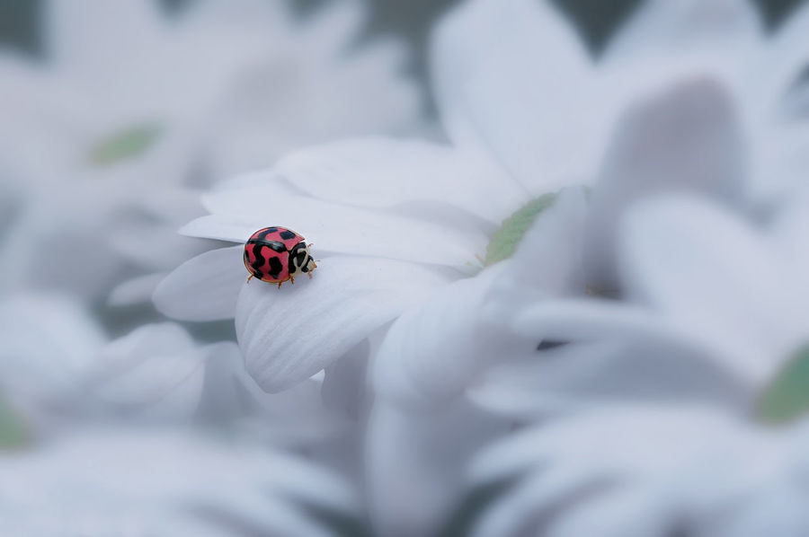 Beautiful Ladybug Flower Macro_captures Macro Insect White Color Macro Beauty Macro Photography Ladybug Ladybug🐞