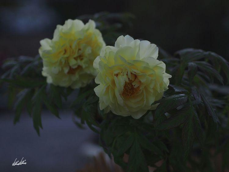 その背中へと伸ばしかけた左手を、結局は引っ込めるしかなかったあの時。 E-PL3 Flower Peony  冬牡丹 Noedit