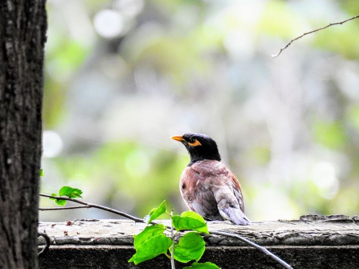A Mynah perched on a wall Bird Close-up Focus On Foreground Nature One Animal Outdoors Perching Tree