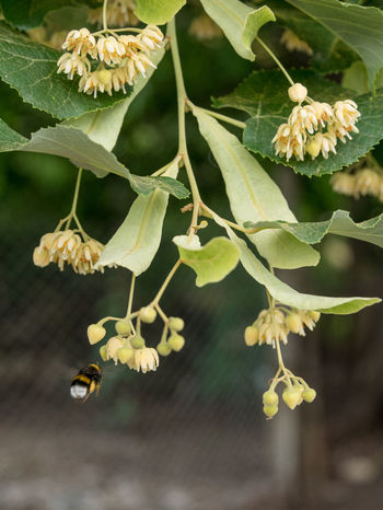 Fresh flowers of Tilia tree, also known as lime and basswood Beauty In Nature Close-up Day Flower Flower Head Focus On Foreground Fragility Freshness Growth Leaf Linden Linden Tree Nature No People Outdoors Plant Tilia Tilia Cordata