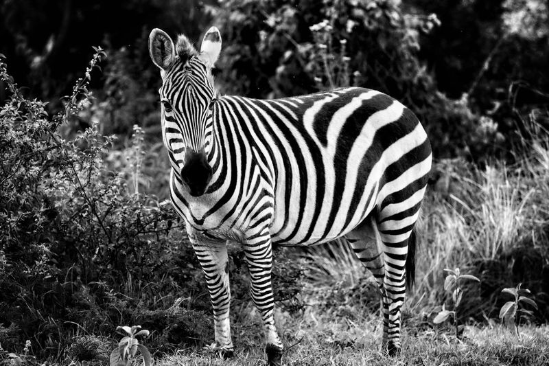 Travel Destinations Travel Photooftheday Canon Photo Tanzania Safari White Black Black And White Black & White Blackandwhite Striped Zebra Animals In The Wild Animal Themes One Animal Animal Wildlife Standing Outdoors Full Length Grass Plant Tree No People Nature Safari Animals Mammal Animal Markings Day