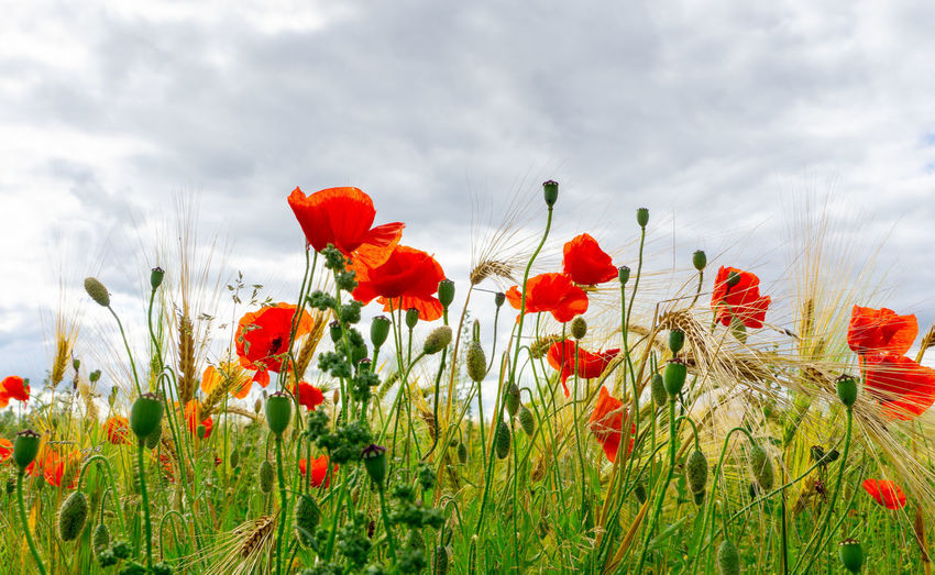 Close-up of red poppy flowers growing on field against sky