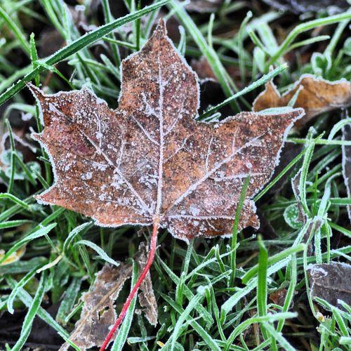 Frost Autumn Leaves NikonD5000 Walking