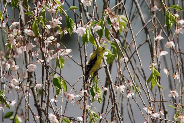 Bird Finch Goldfinch Flower Tree Nature Outdoors Plant Leaf Flowering Tree Blossom Springtime Beauty In Nature Connecticut Pink Color Freshness Growth Birds Of EyeEm  Bird Photography