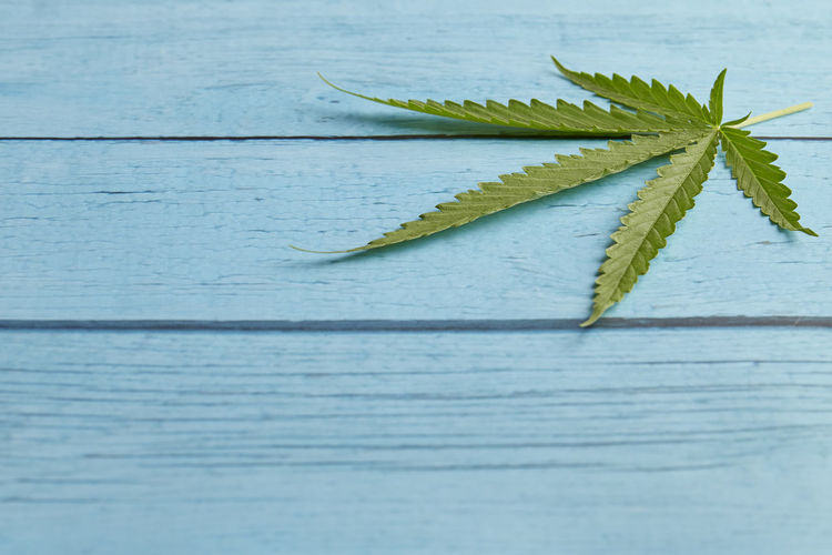 Cannabis leaf, marijuana on bright blue wood table top view copy space for text Cannabis Leaf Table Marijuana Hemp Background Wood Health Green Weed Wooden Plant Medicine Nature Herb Medical Natural Old Legal Culture Ganja Drug Narcotic Leaves Herbal Space Hashish Grass Medicinal Illegal Oil CBD Legalize Marihuana Joint Copy Sativa Hash Closeup Retro Vintage CBD Cbn Thc Text Plant Part Close-up Green Color Wood - Material No People Still Life High Angle View Freshness Indoors  Selective Focus Plank Day Directly Above Copy Space Beauty In Nature