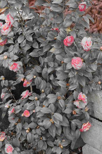 Shades Of Grey Pink Rose Pink Flower Blackandwhite Blackandwhitephotography Nature Photography
