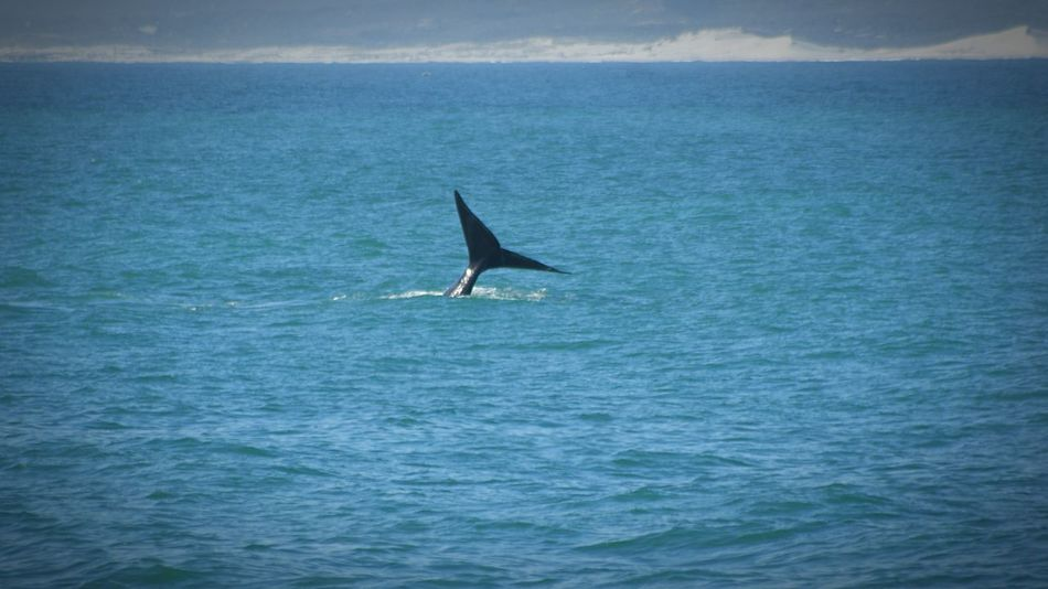 Whale watching at Gaansbai South Africa Sea Water Nature Waterfront Beauty In Nature Whale Whale Watching Whale Tail One Animal Animal Themes Animals In The Wild Horizon Over Water Sea Life Beauty In Nature Sony A350 Travel EyeEmBestPics Beauty EyeEm Best Shots Today's Hot Look Travel Destinations Vacations first eyeem photo