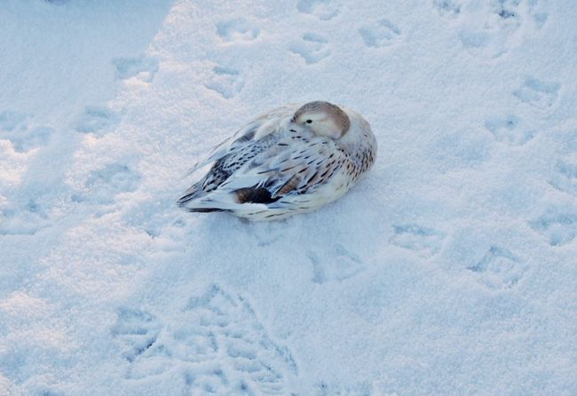 Animal Themes Animal Wildlife Animals In The Wild Beauty In Nature Bird Cold Temperature Day Duck Nature No People One Animal Outdoors Sleeping Bird Snow Weather Winter