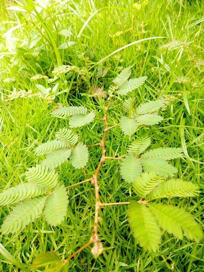 Weed Shameplant Memosa Peduca Makahiya Weed Beginnerphotographer Wild Plants Green Green Green!  Grassland