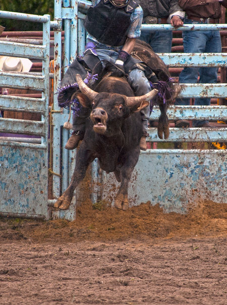 Latting Pembroke Rodeo Bull Bull Riding/rodeo Colors Cowboy Day Domestic Animals Eyes Full Length Hoover Dam Horns Livestock M Mad Mammal Men One Man Only One Person Only Men Outdoors People Rodeo Steering Wheel