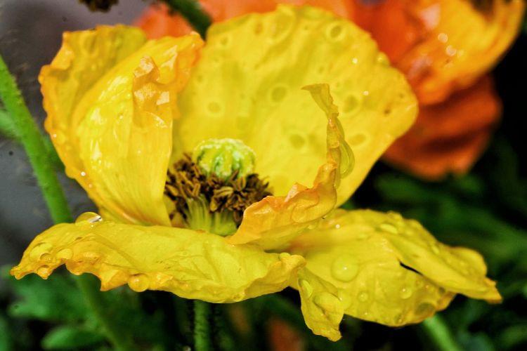 Poppy Yellow Poppy Flower Freshness Close-up Nature Flower Head Petal Fragility Leaf No People Day Beauty In Nature Indoors  Healthy Eating Drops Eye4photography  Check This Out From My Point Of View Capture The Moment Rain Drops Outdoors Drop Water Freshness