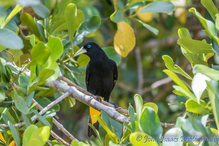 Cacique Bird Animals In The Wild Animal Wildlife Perching Beauty In Nature Tree Birds Bird Photography Birdwatching Birds_n_branches Birdsofinstagram Outdoors Yellow Rumped Cacique bibirs