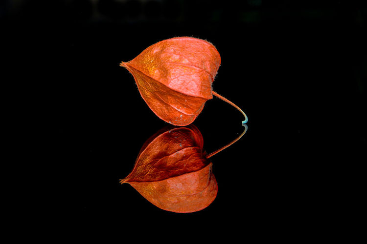 Physalis with reflection against black background