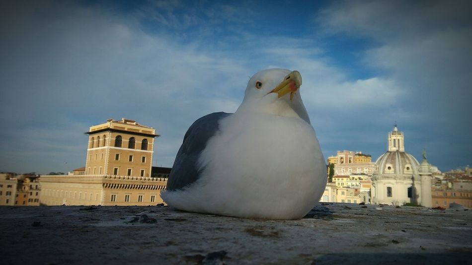 City Outdoors Building Exterior History Rome Italy Day Roma Enjoying Life 2016 One Animal Gabbiano Gabbiano A Riposo Bird Tranquility Streetphotography Lifestyles Eyeemphoto December Animals Beauty In Nature Pets Cloud - Sky Eye Newfrontier