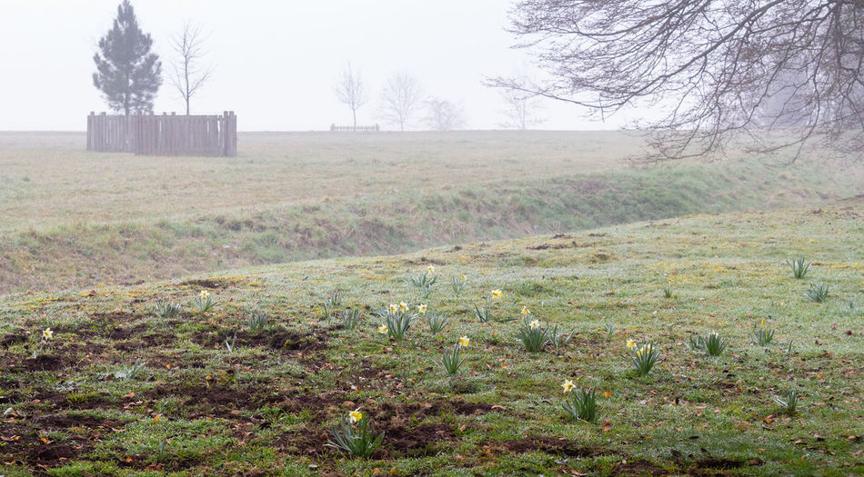 Croome Fog Mist Tree Environment Landscape Tranquil Scene Outdoors Daffodils Scenics - Nature Day
